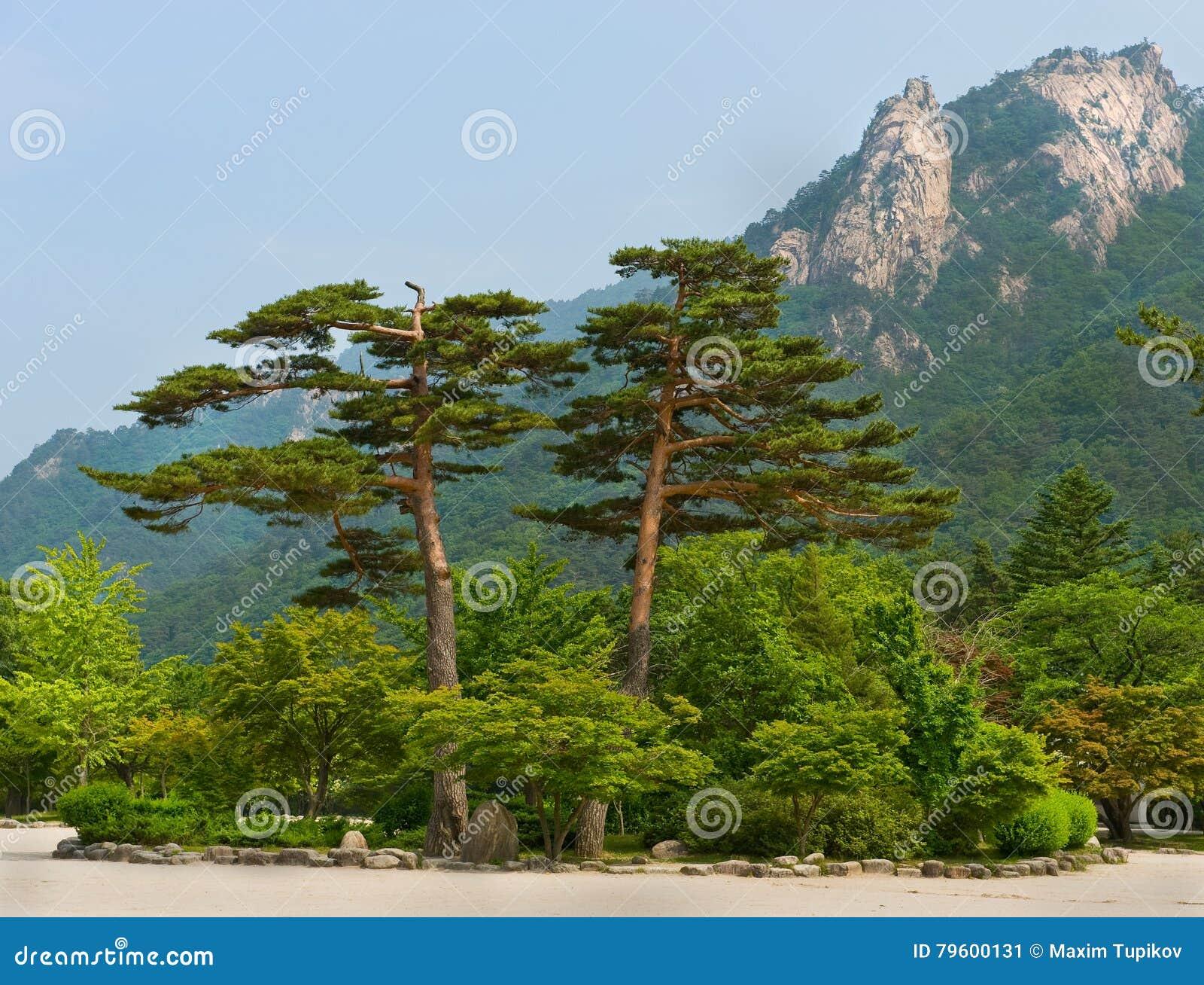 Pinhos famosos dos pares - símbolo do parque nacional de Seoraksan