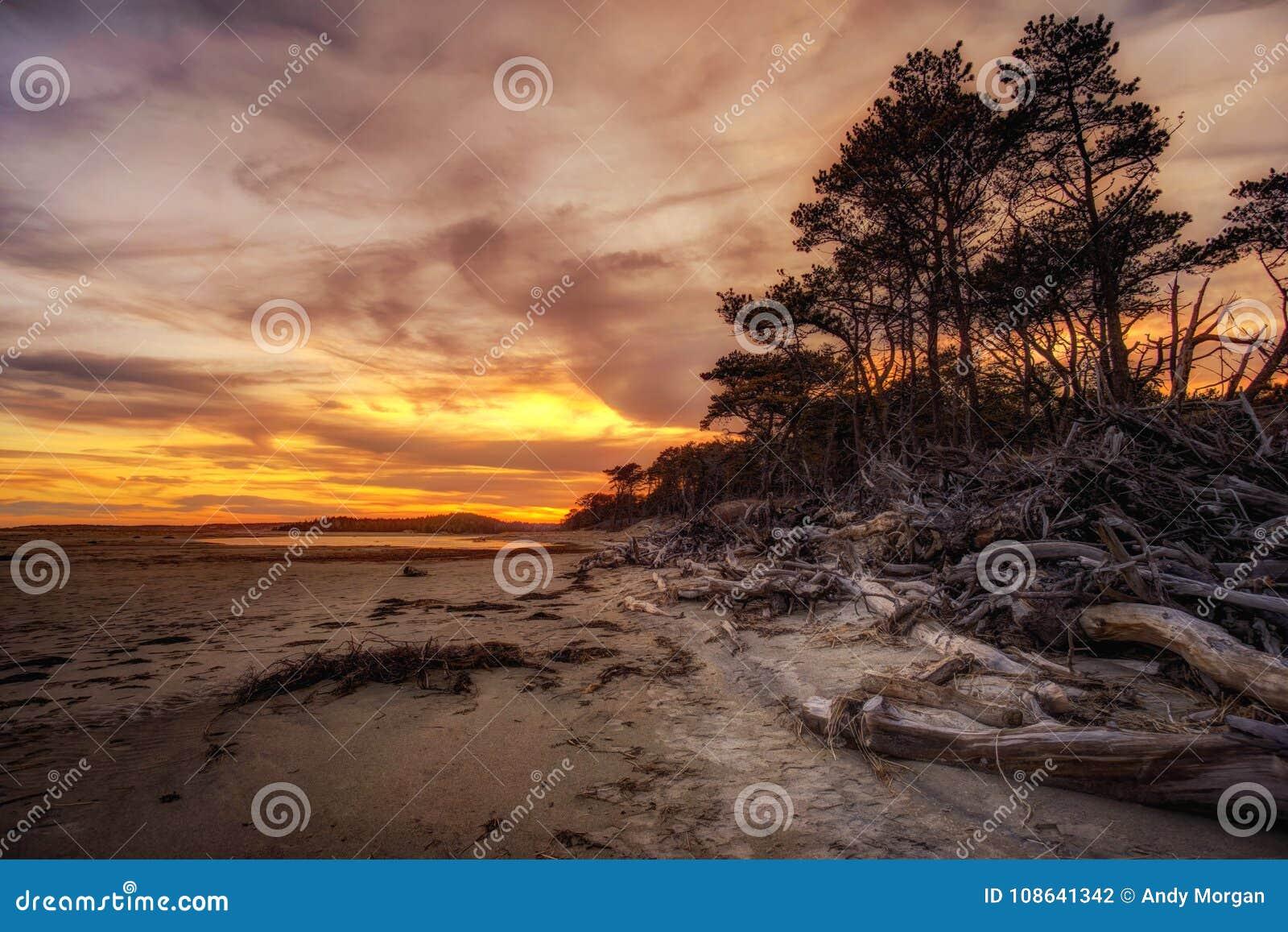 Pini e spiaggia del legname galleggiante