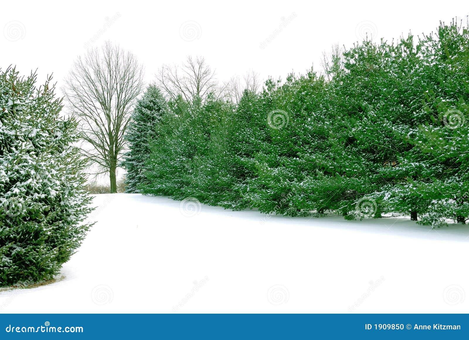 Pini sempreverdi nella neve bianca di inverno fotografia for Gli alberi sempreverdi