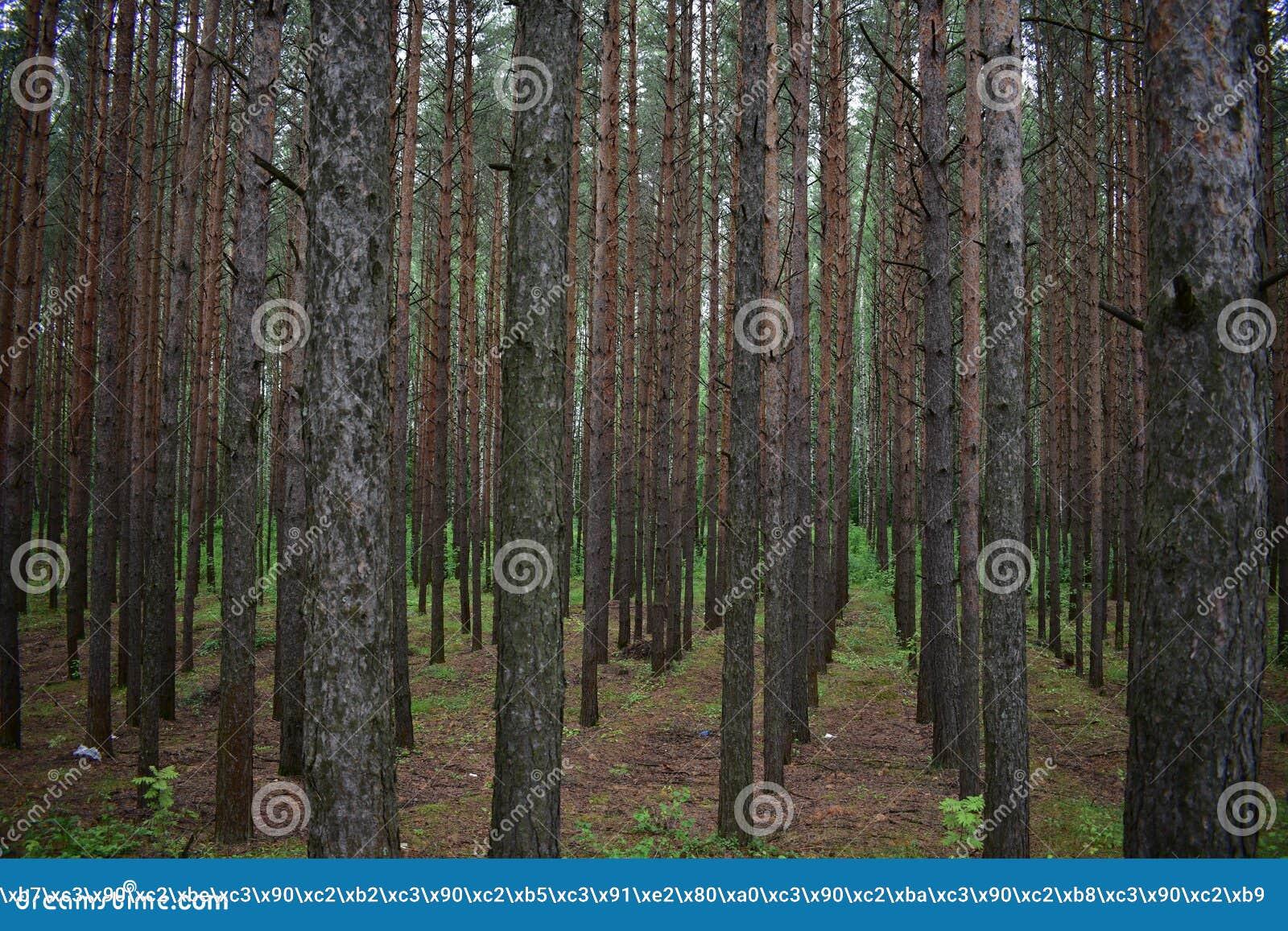 Pinjeskogen är steril, där är faktiskt inget damm