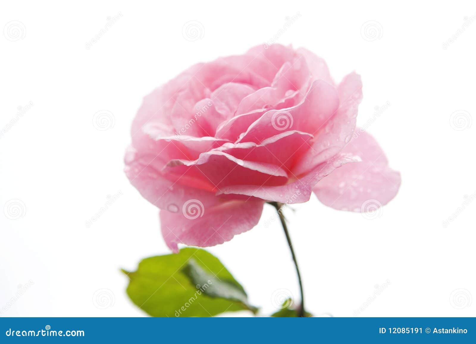 Pink розы