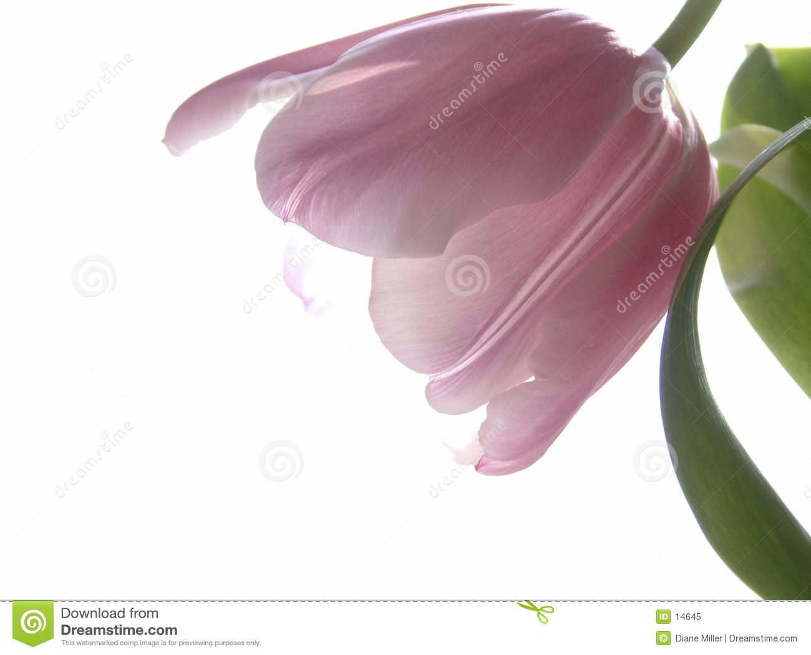 Pink тюльпан