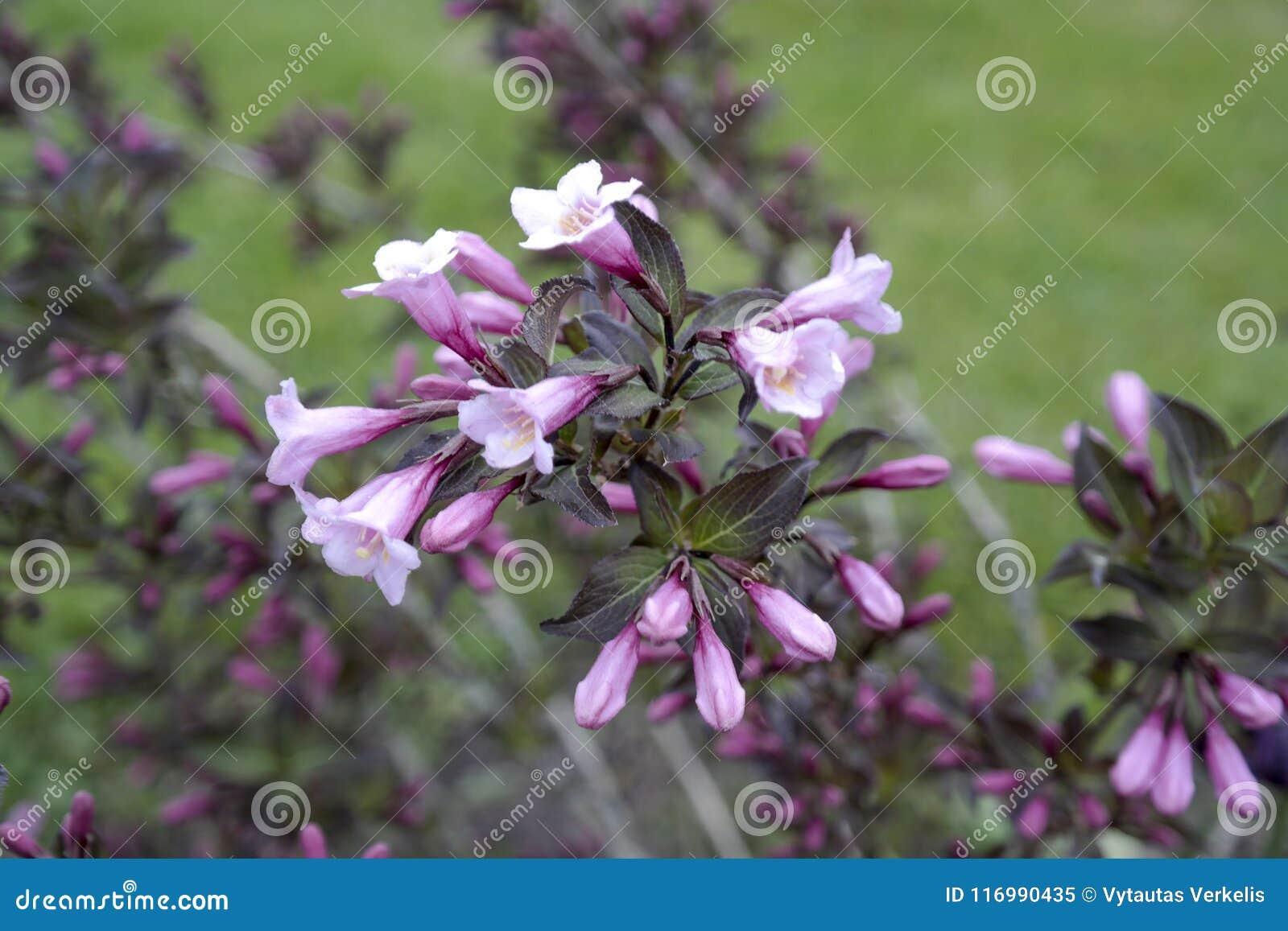 Pink Abelia Grandiflora Stock Image Image Of Blossom 116990435