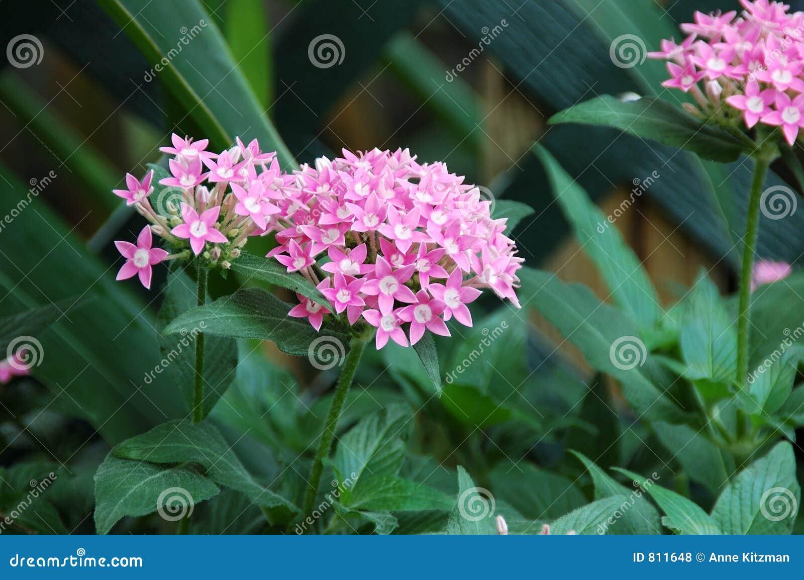 Pink allium flowers stock photo image of flowers allium 811648 pink allium flowers mightylinksfo