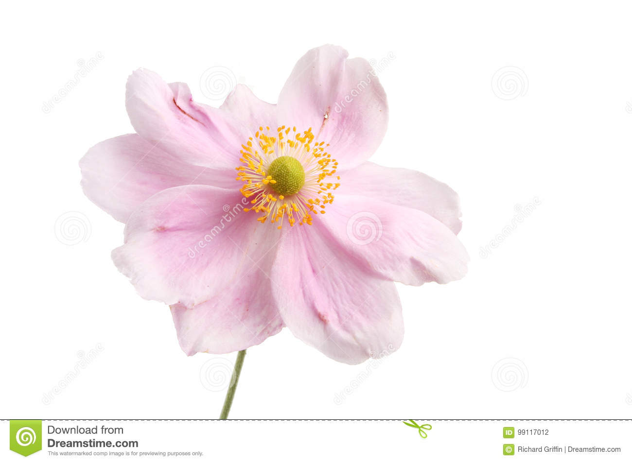Pink anemone flower stock photo image of anemone pink 99117012 pink anemone flower mightylinksfo