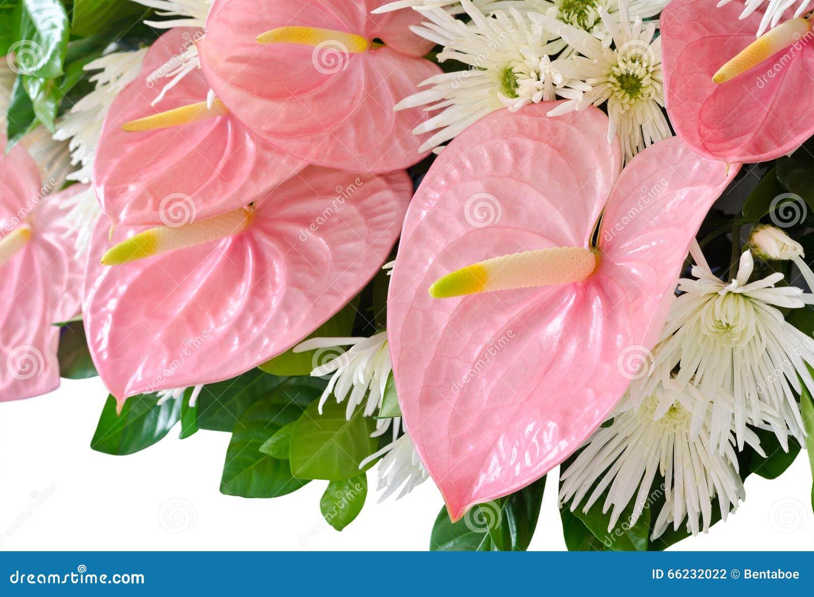 Pink Anthurium Flower Flamingo Flowers Stock Photo 66232022 Megapixl