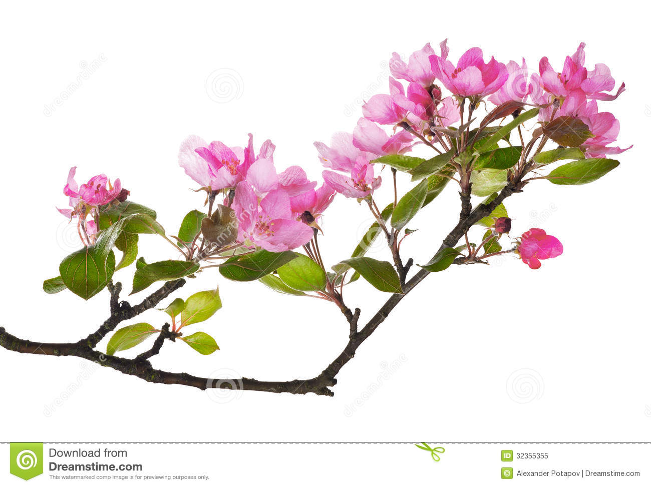 Pink Apple Tree Isolated Floral Branch Royalty Free Stock ...