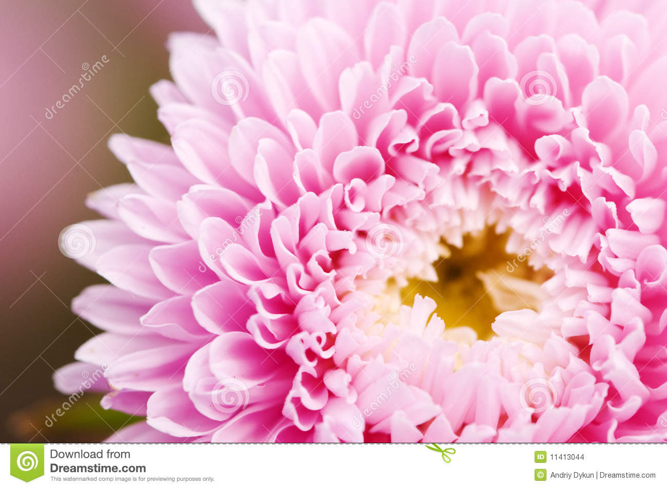 pink aster flower stock images  image, Beautiful flower