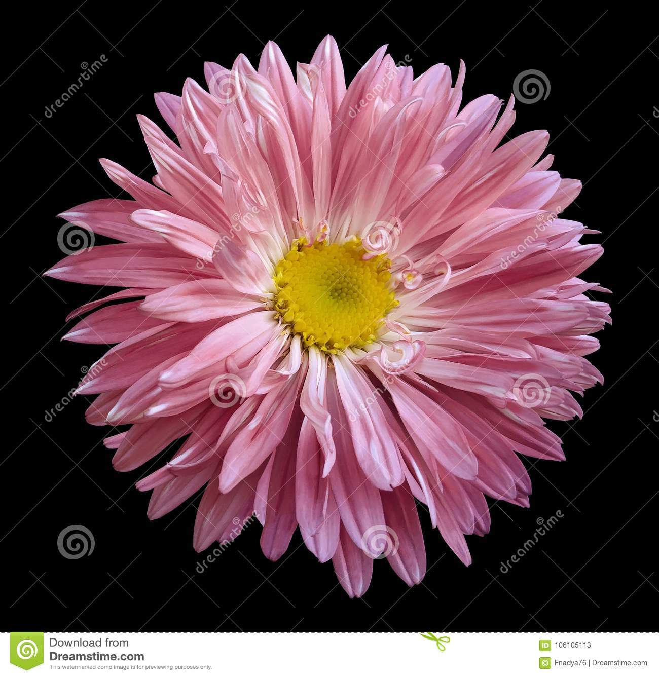 Pink Aster Flower On The Black Isolated Background With Clipping