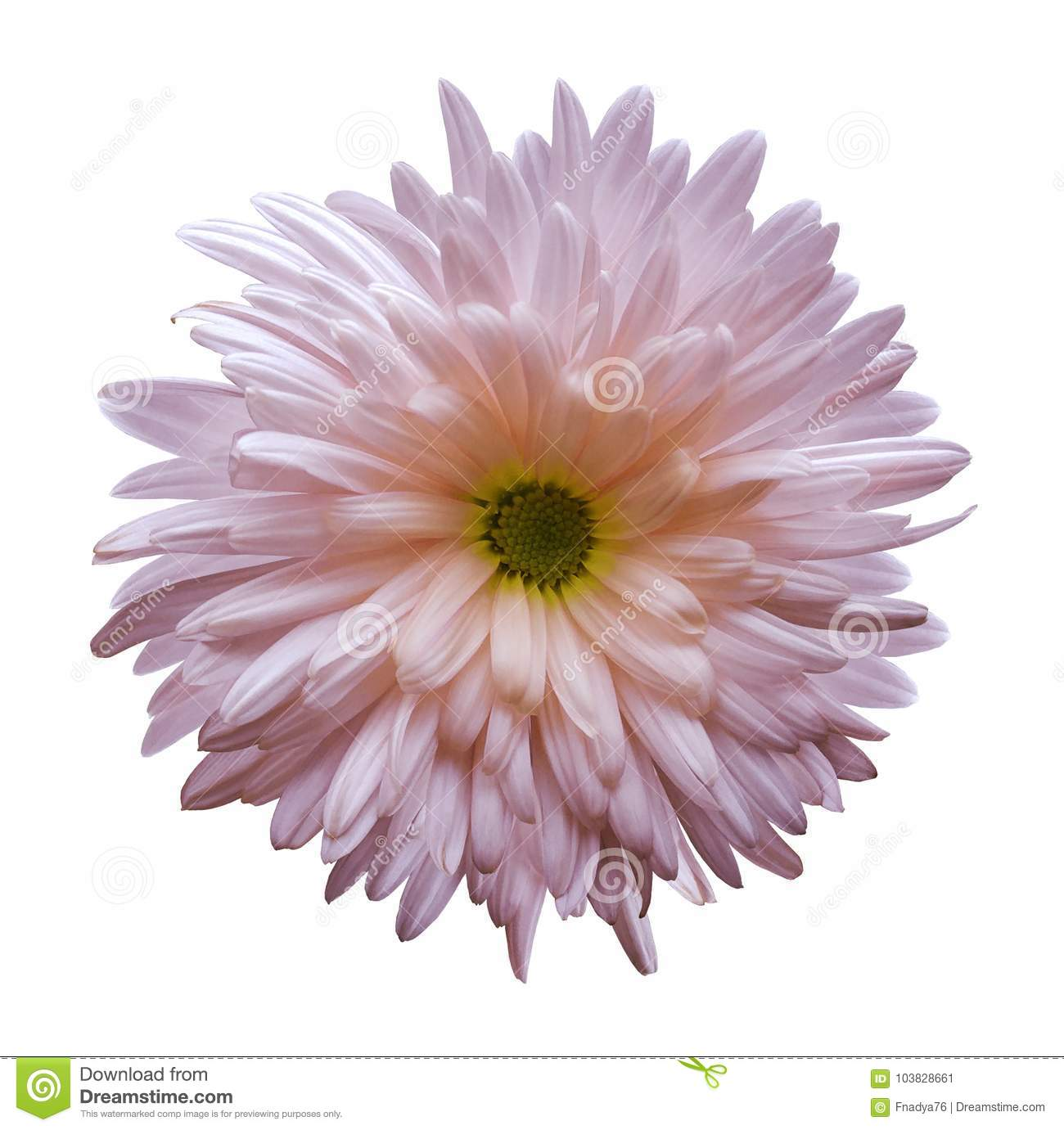 Pink Aster Flower Isolated On White Background With Clipping Path