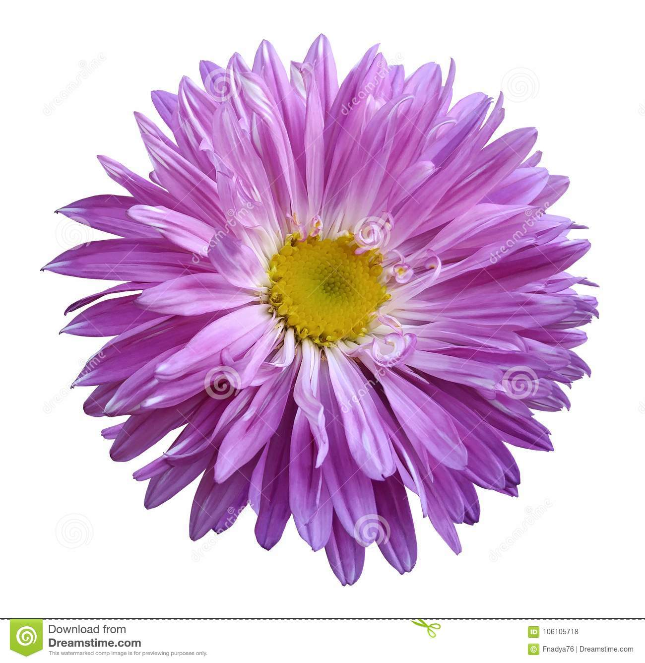 Pink Aster Flower On A White Isolated Background With Clipping Path