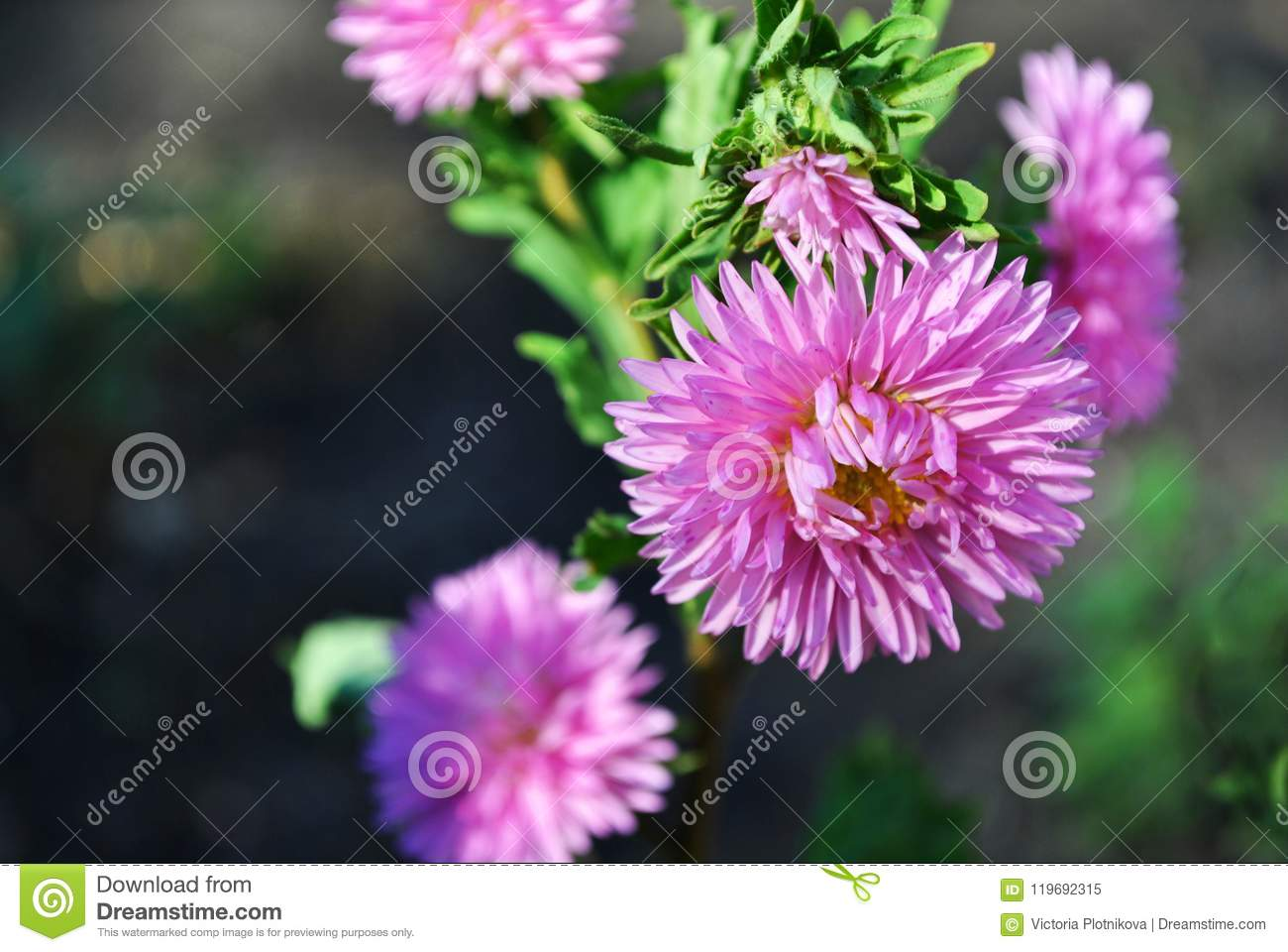 Pink Asters Stock Image Image Of Floral Fluffy Color 119692315
