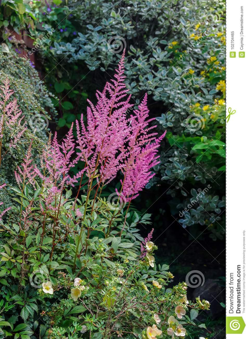 Pink astilbe flowers growing in a mixed border stock image image pink astilbe flowers growing in a mixed border mightylinksfo