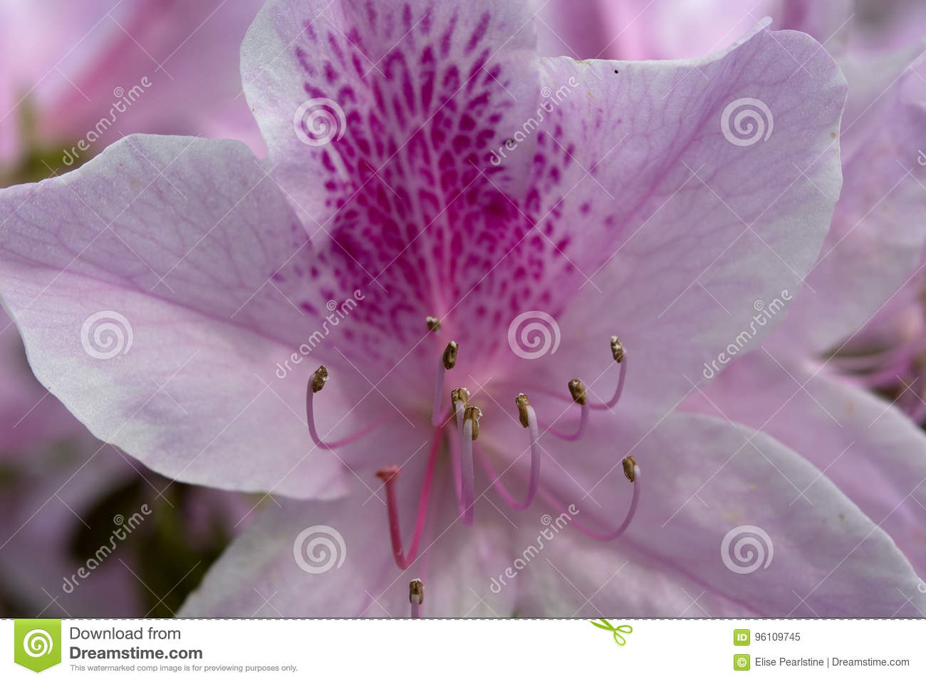Pink Azalea Closeup with Magenta Freckles and Stamens