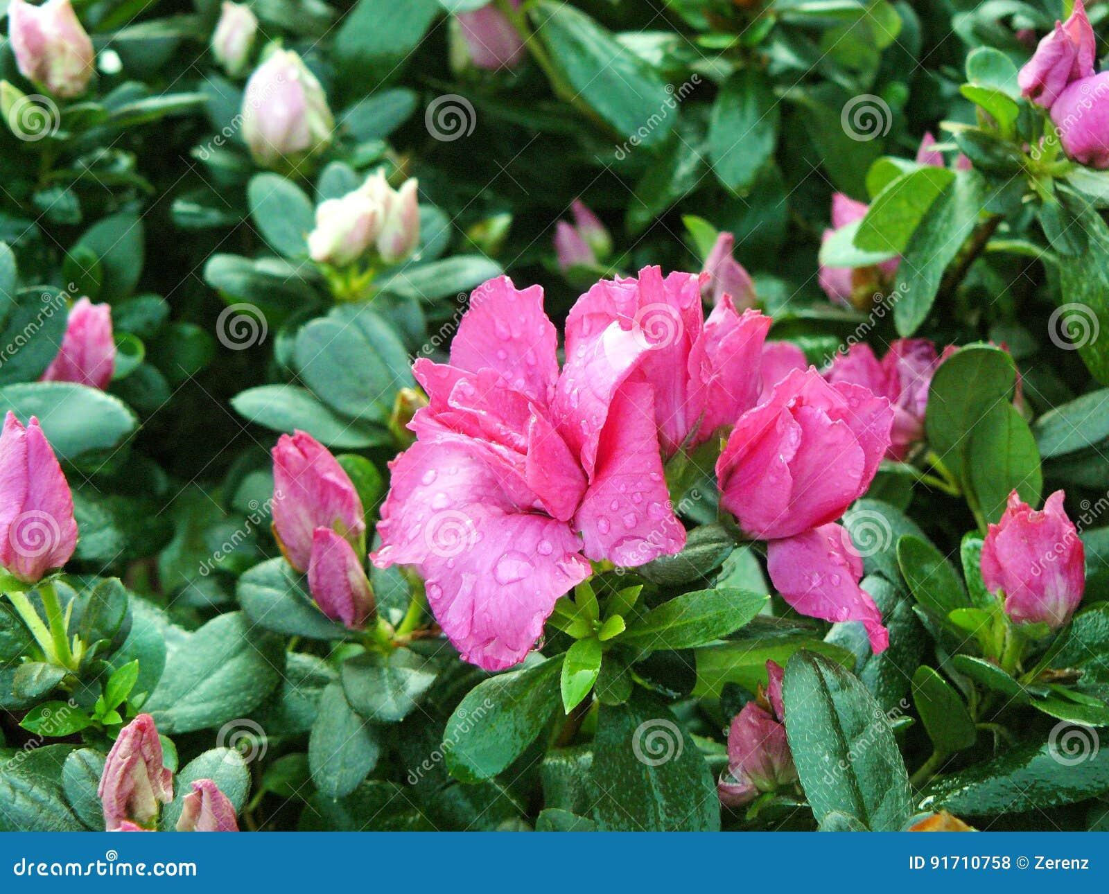 Pink Azalea Flower Stock Photo Image Of Bloom Flora 91710758