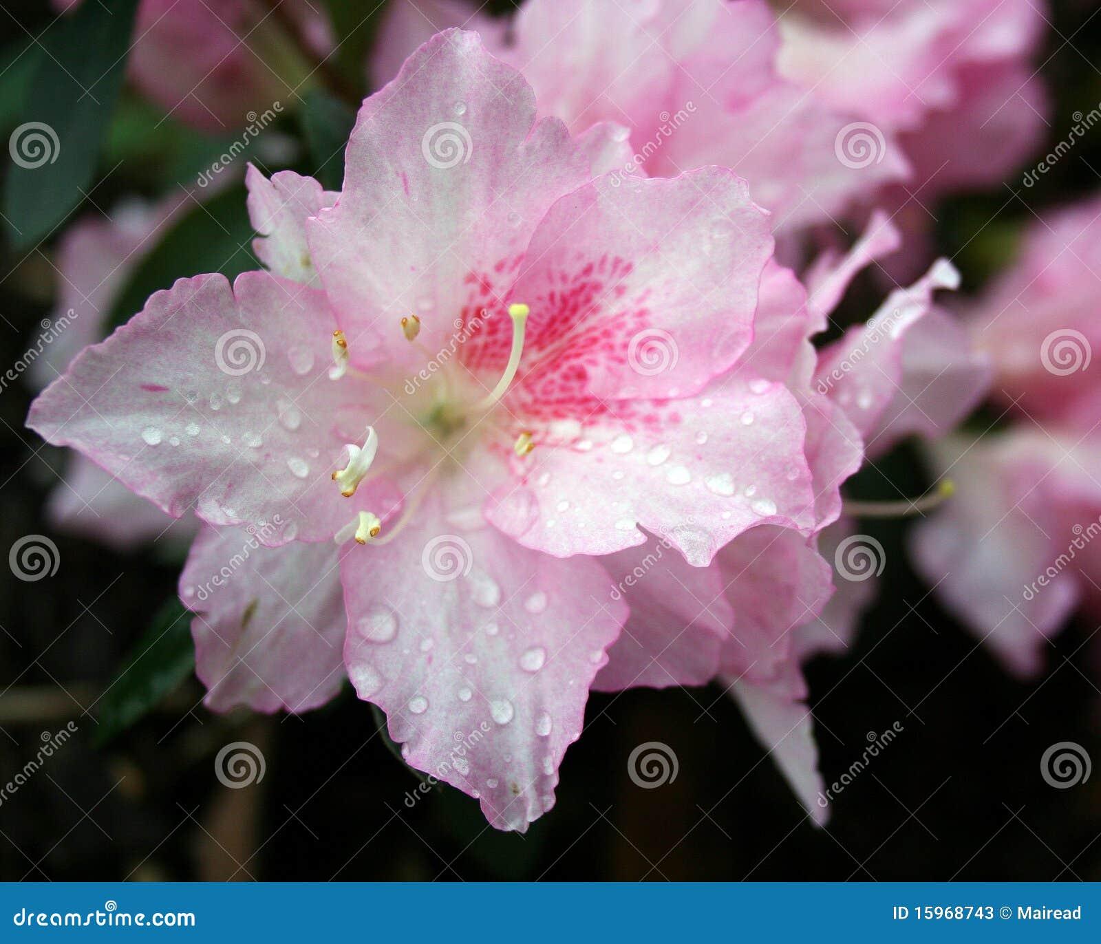 Pink azalea flower pink azalea flowers