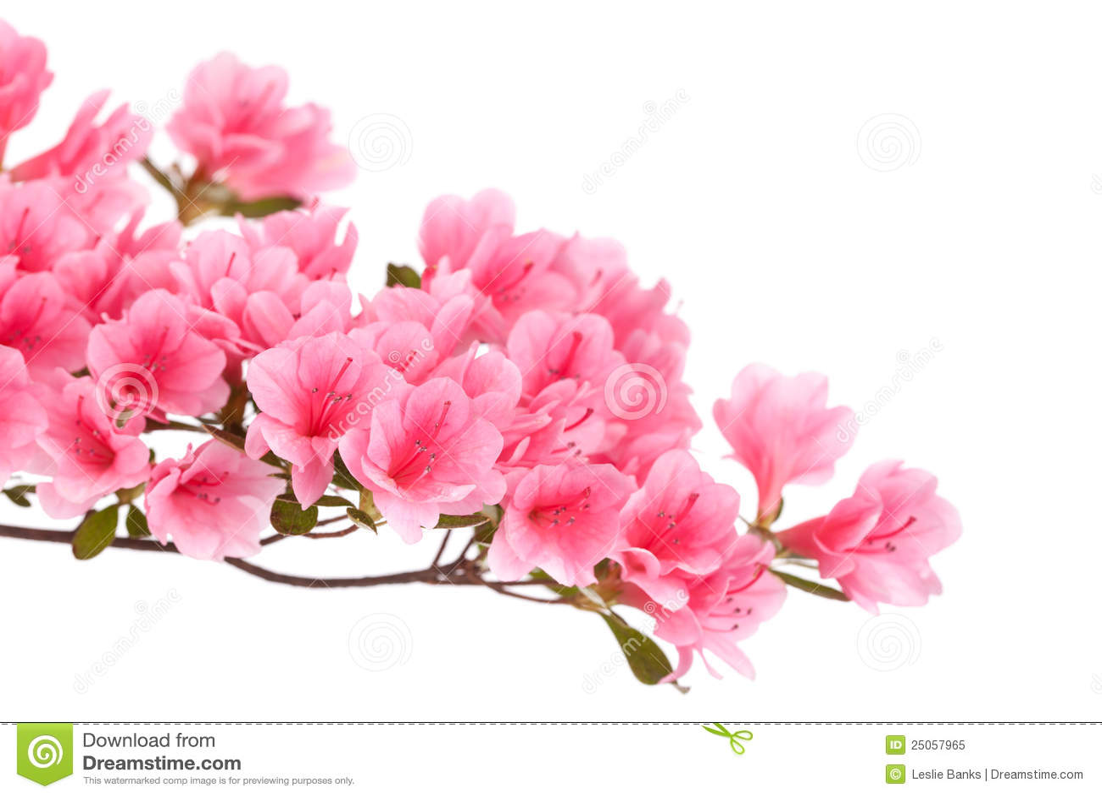 Pink Azalea Flowers Stock Image Image Of Bloom Flower 25057965