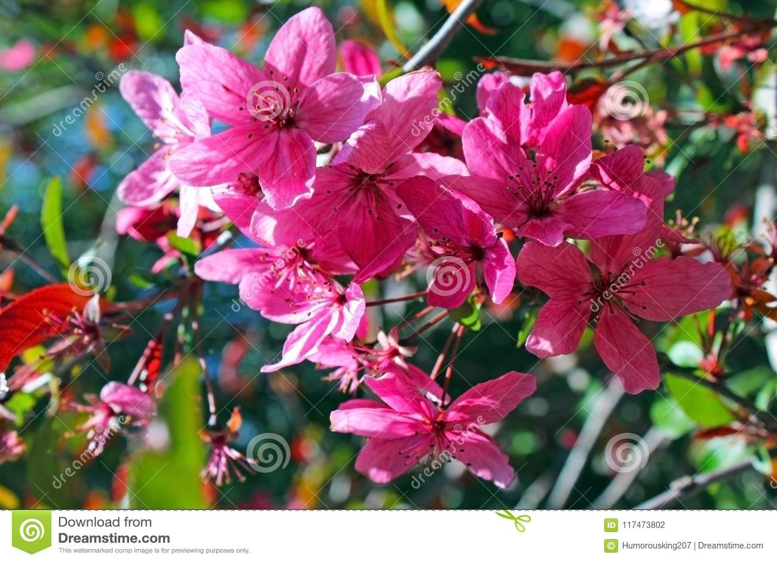 Pink Azalea Flowers In Bloom Stock Photo Image Of Springtime Leaf