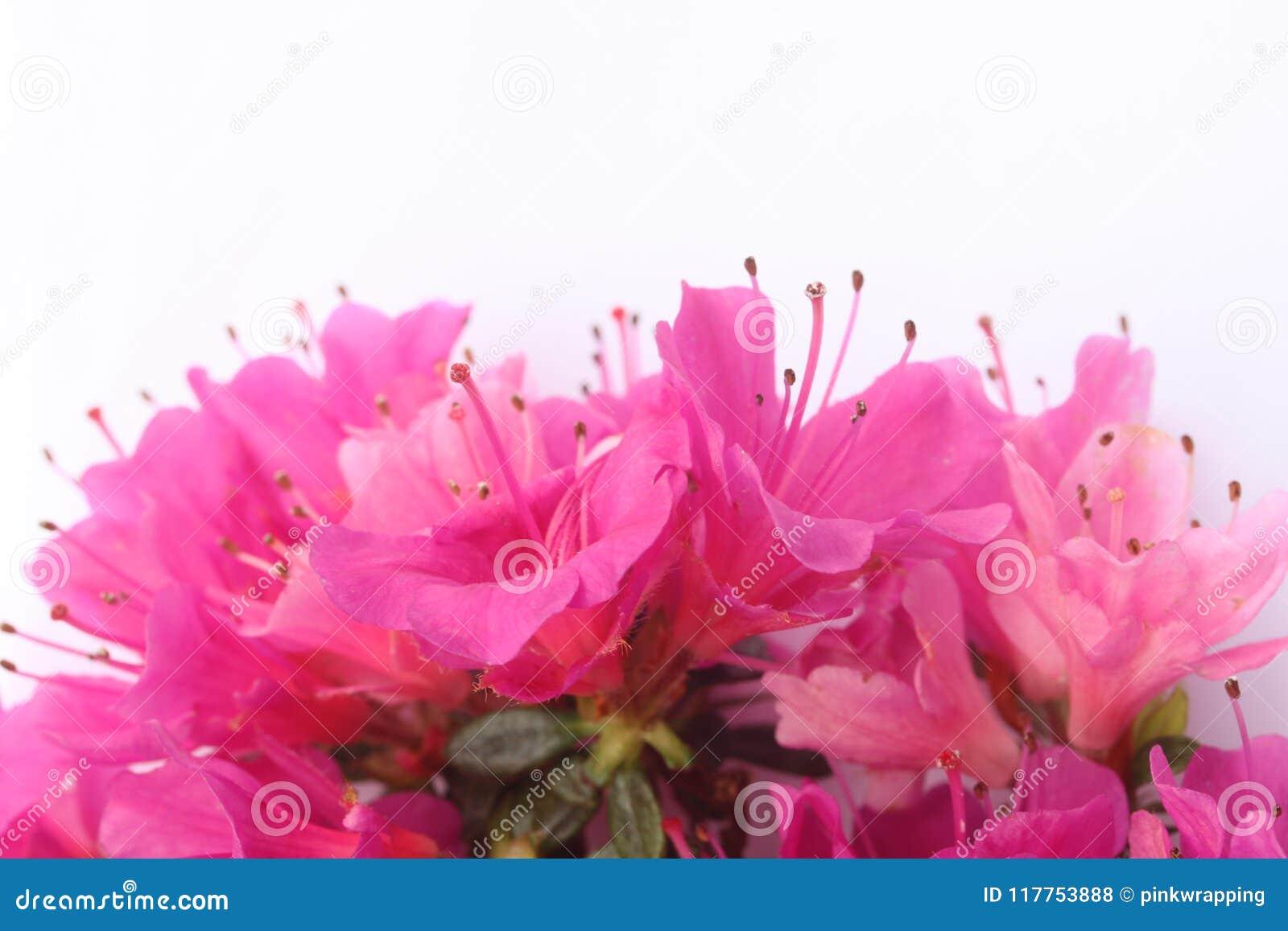 Pink Azalea Flowers Stock Photo Image Of Pink Pretty 117753888