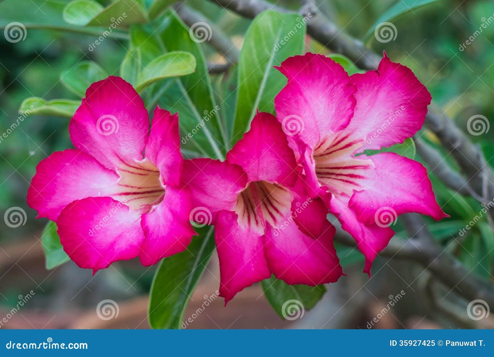 Pink Azalea Flowers Royalty Free Stock Photo Image 35927425