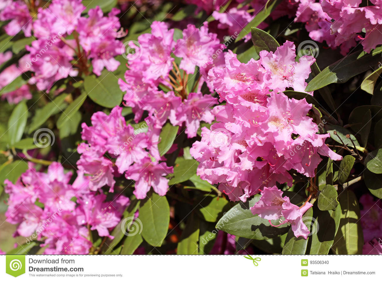 Pink Azalea Flowers With Water Droplets On The Petals In The Sun