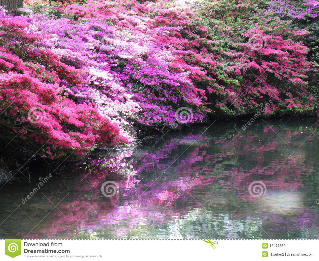 Pink Azaleas with shadow over water