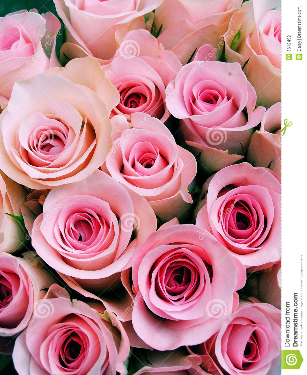 Pink baby roses