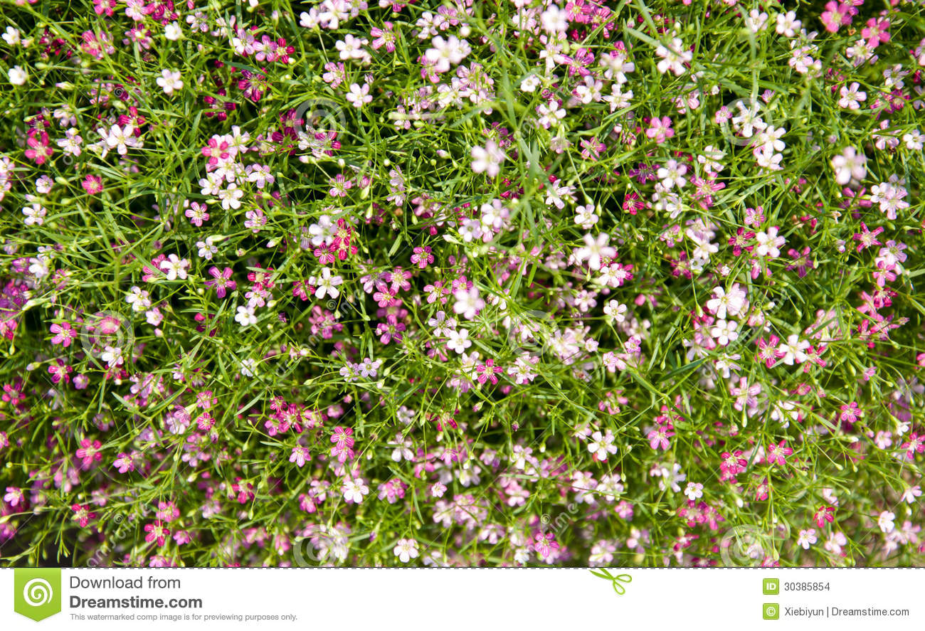 Pink Baby s Breath Flower For Background Stock Image