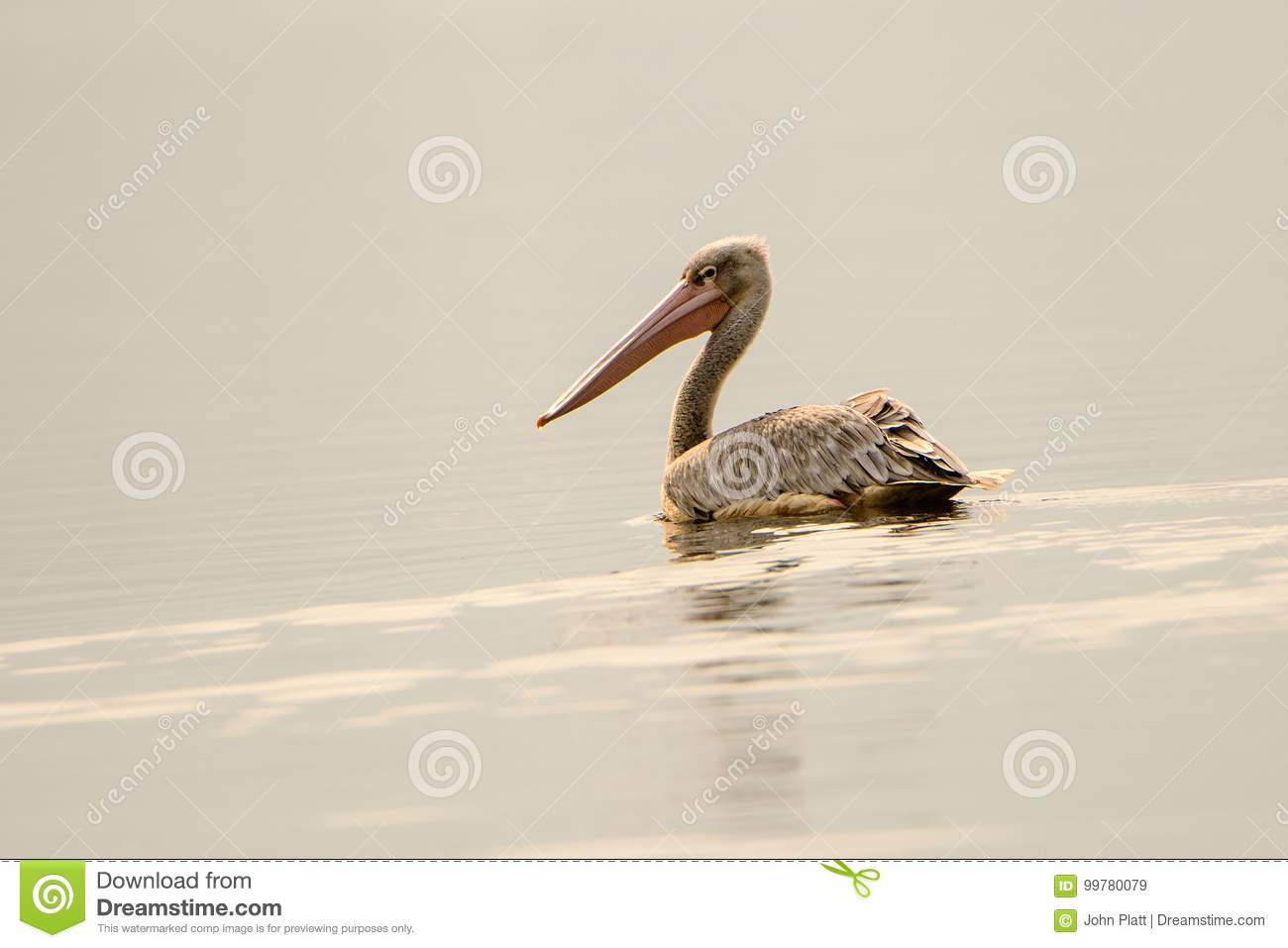 Pink backed pelican on the water