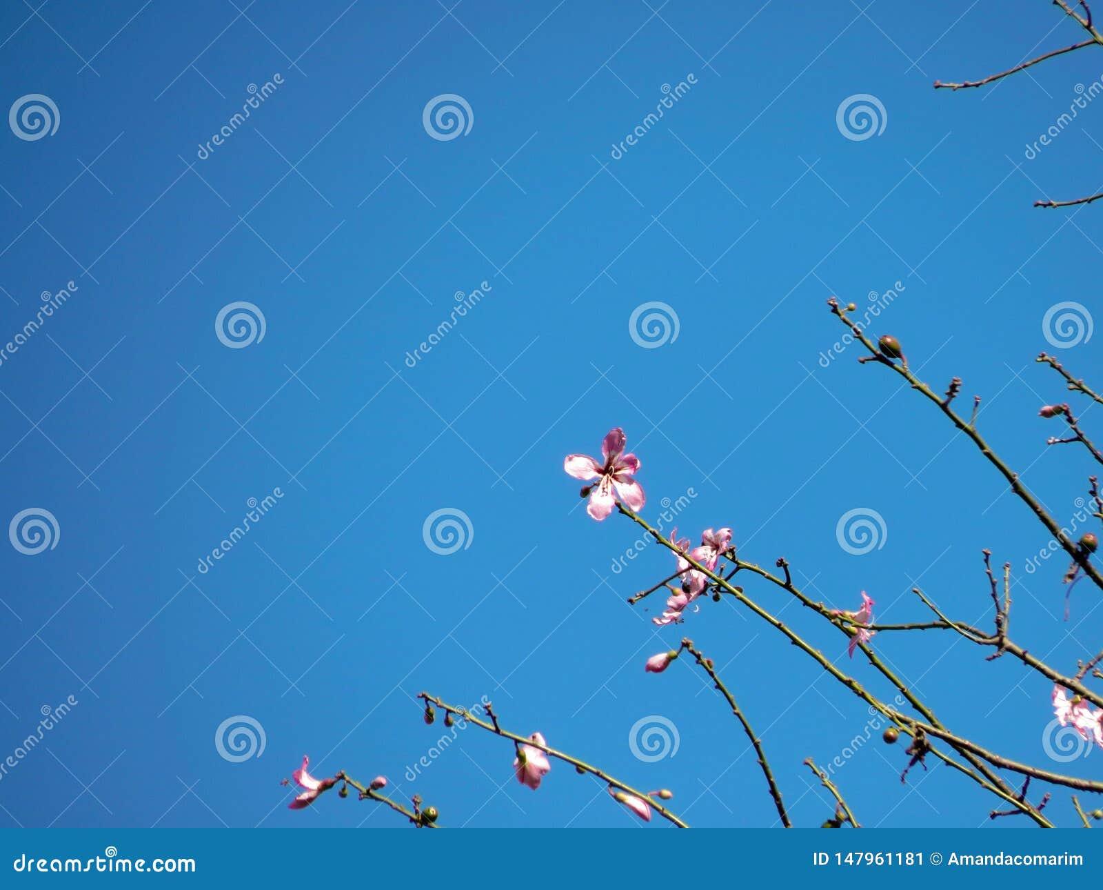 Pink bauhinia forficata flower on the sky