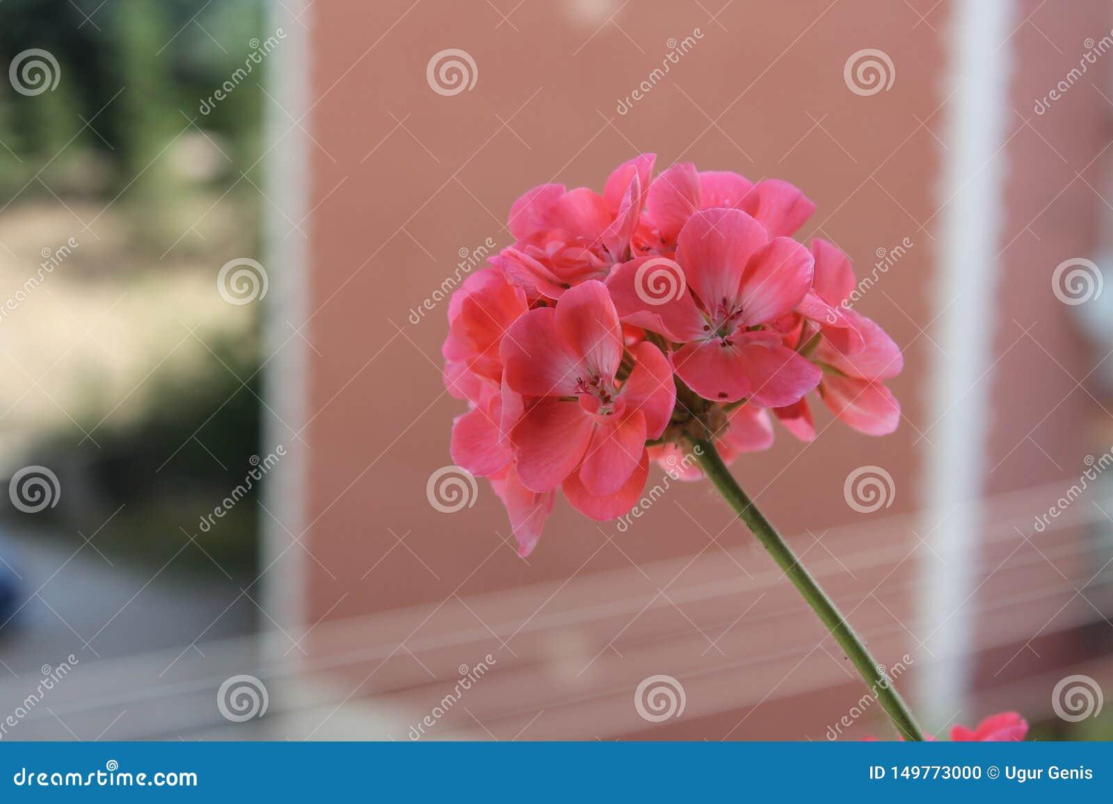 Pink beatiful flower in balcony