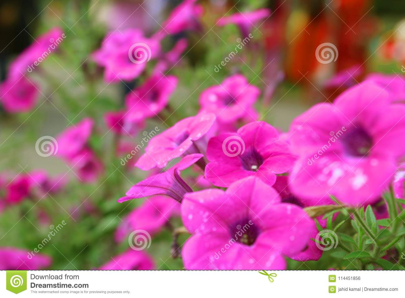 Pink Beautiful Flower Petunia Baskets Flowers Stock Photo Image Of