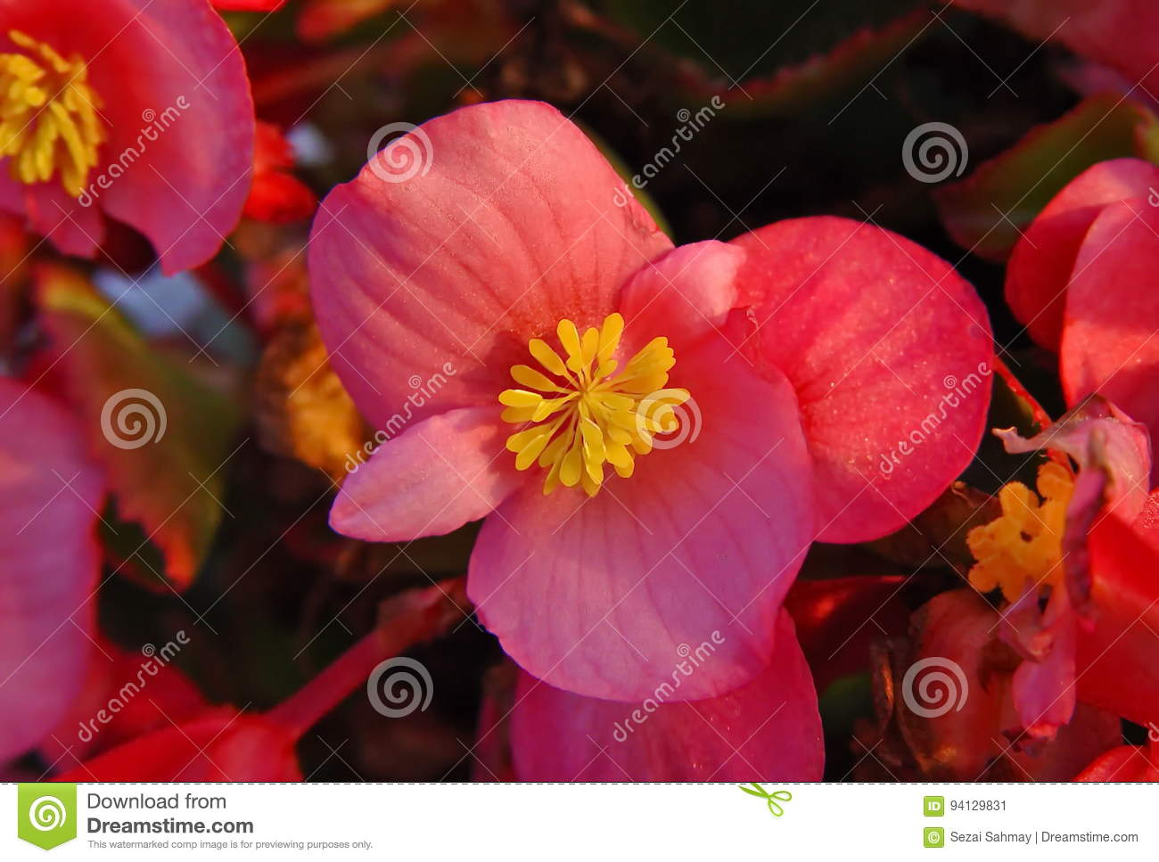 Pink begonia stock image image of colorful cultivated 94129831 begonias are easy annual flowers for the shade garden look at pictures of waxbegonias tuberous begonias and angel wing begonias izmirmasajfo