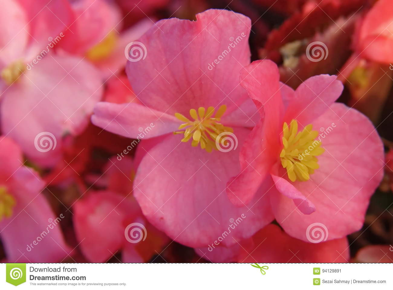 Pink Begonia Stock Image Image Of Blossom Colorful 94129891