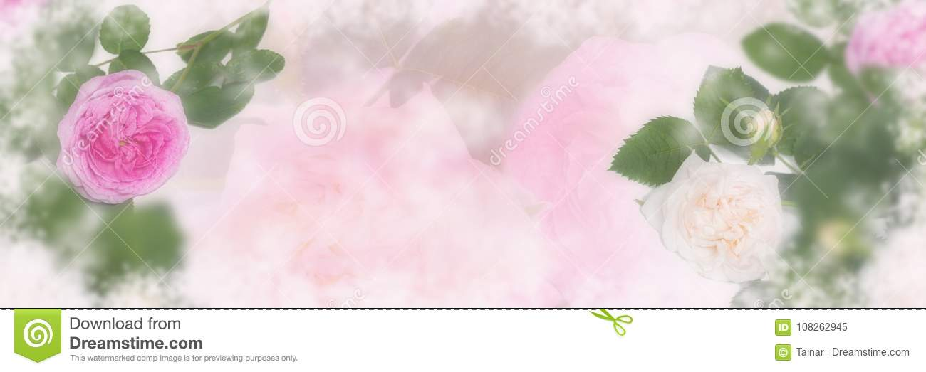 Pink and beige roses blossom panorama