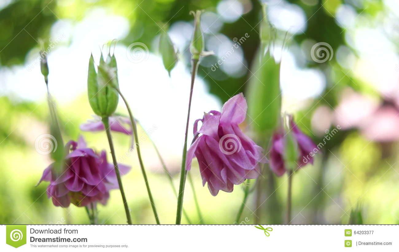 Pink bell shaped flowersaquilegia vulgaris or european columbinein pink bell shaped flowersaquilegia vulgaris or european columbinein windsound stock video video of bokeh astringent 64203377 izmirmasajfo