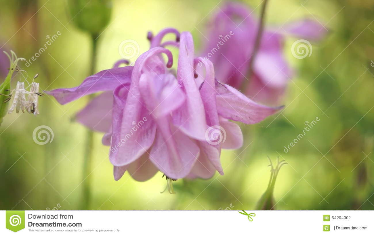 Pink bell shaped flowersaquilegia vulgaris or european columbinein pink bell shaped flowersaquilegia vulgaris or european columbinein wind sound stock footage video of foliage european 64204002 izmirmasajfo