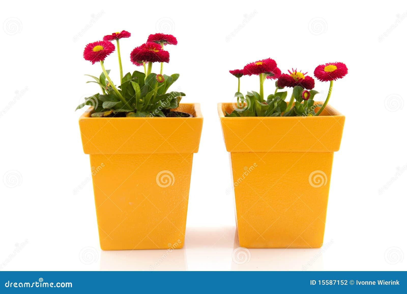 Pink Bellis In Yellow Flower Pots Stock Photo Image Of Garden