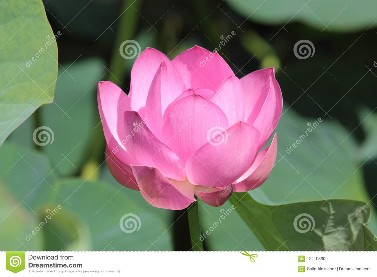 Large lotus flower stock image image of pink flower 124103609 download large lotus flower stock image image of pink flower 124103609 mightylinksfo
