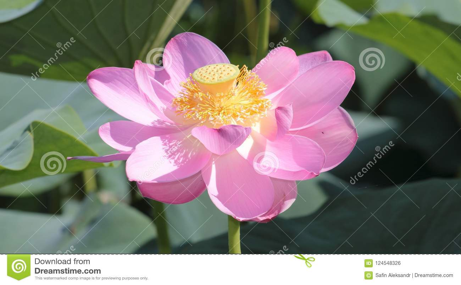 Big lotus flower on green leaves background stock photo image of download big lotus flower on green leaves background stock photo image of green large mightylinksfo