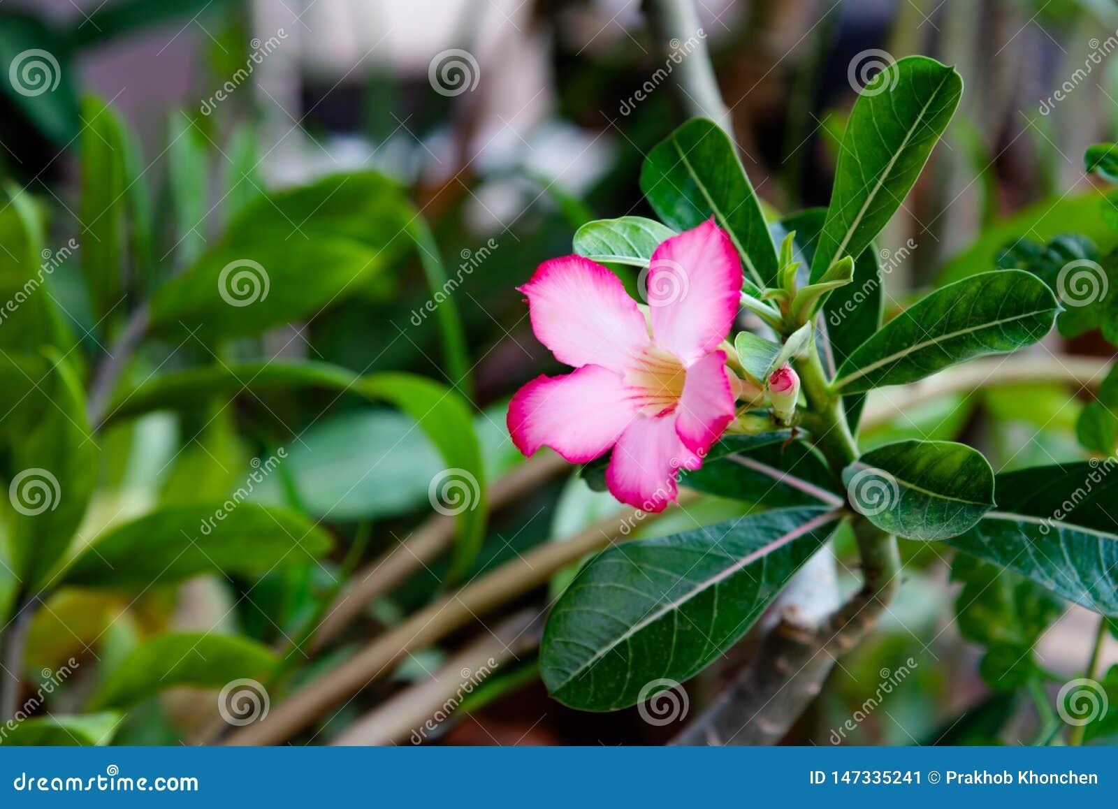 Pink Bignonia flowers or Adenium flowers, Adenium multiflorum
