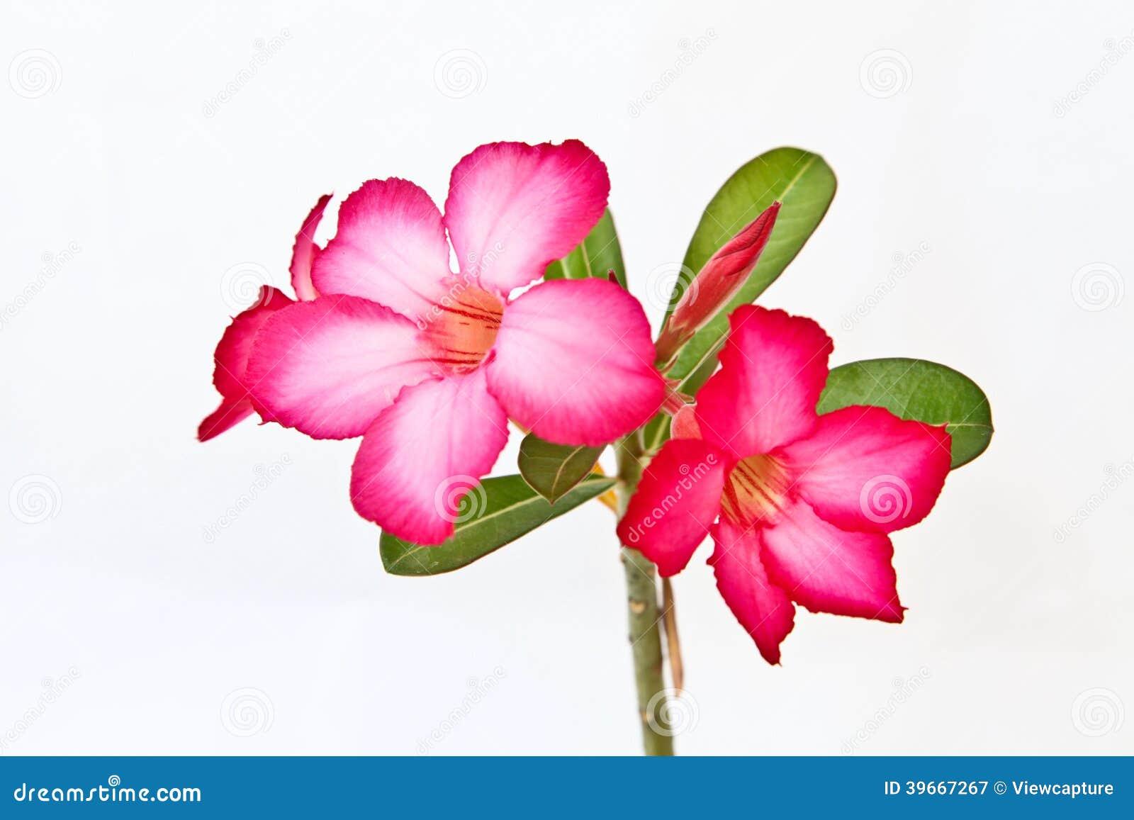 Isolated pink bignonia flowers