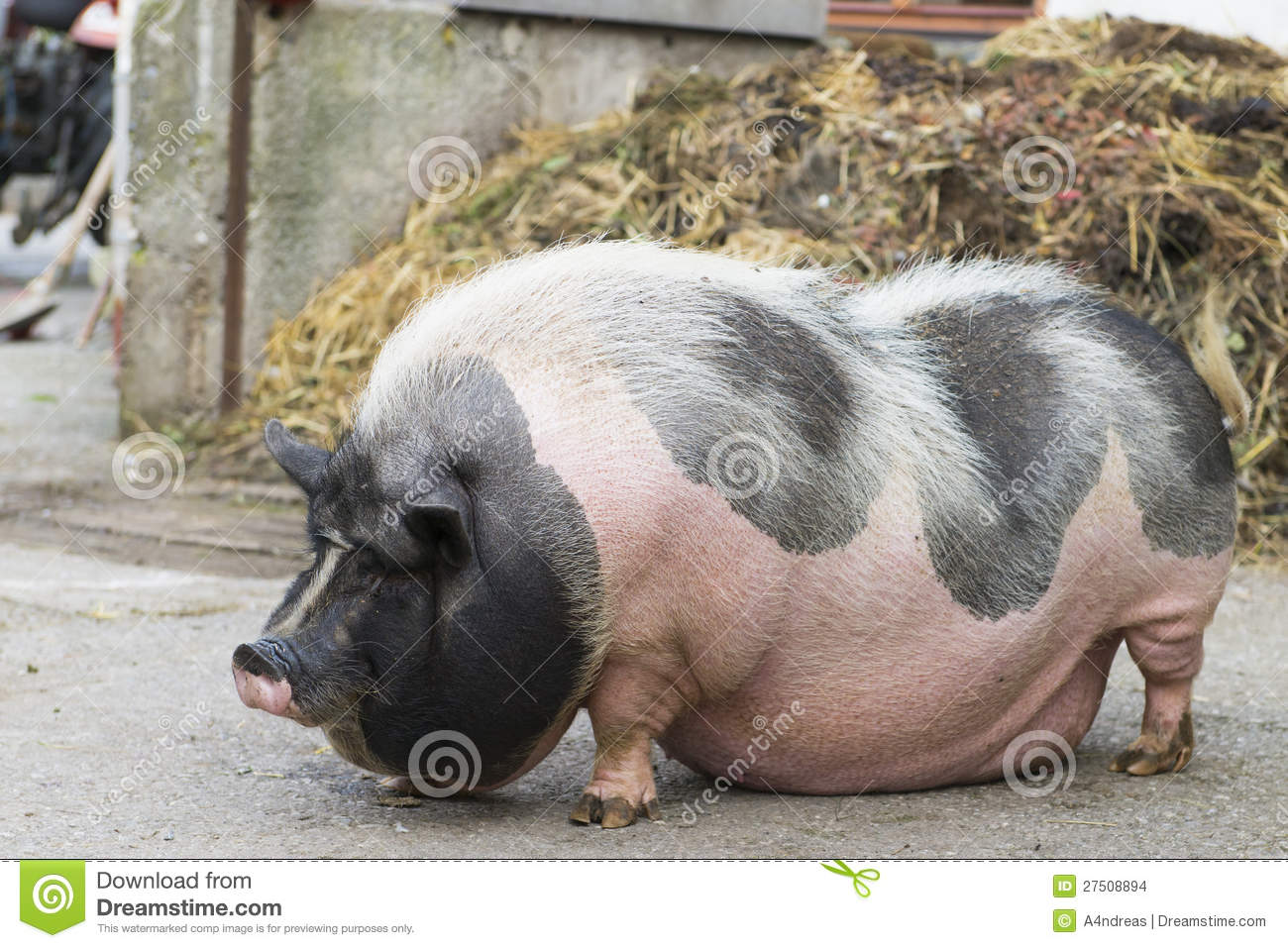 Free Small House Plans Pink And Black Speckled Pot Bellied Pig Stock Photo