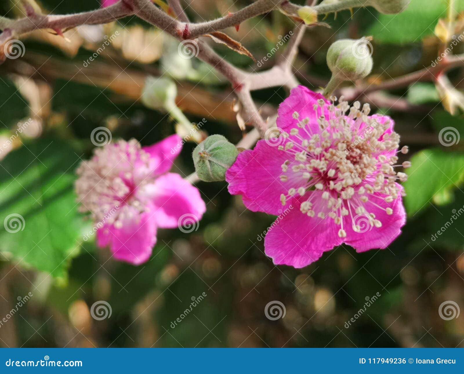 Blackberry flower, Morus Nigra