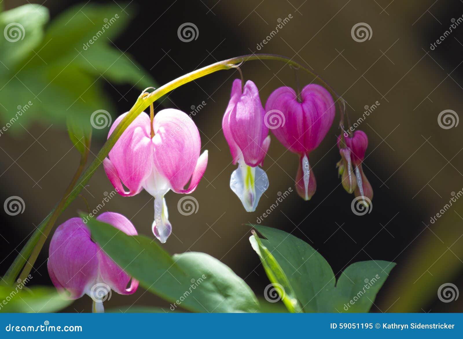 Pink Bleeding Heart Flowers Stock Image Image Of Heart