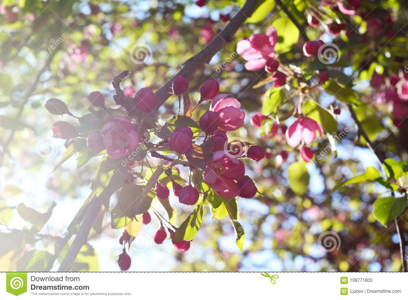 Pink Blooming Of Decorative Apple Tree In Spring Day Beautiful