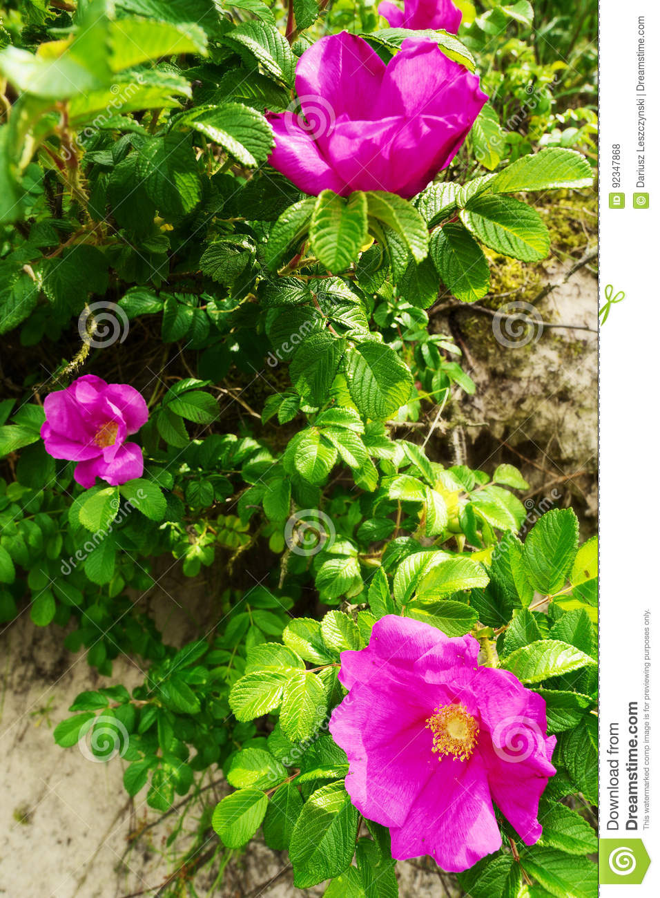 Pink Blooming Flowers Of Climbing Rosa Canina Shrub Commonly Known