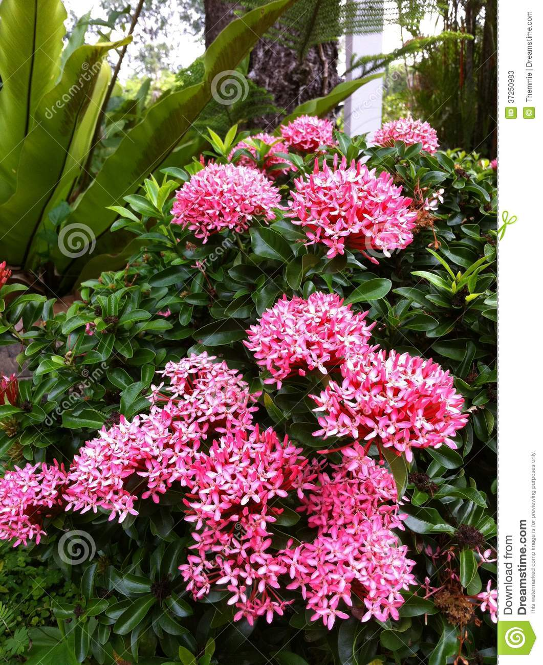 Pink Blooming Ixora Stock Image Image Of Evergreen Plants 37250983