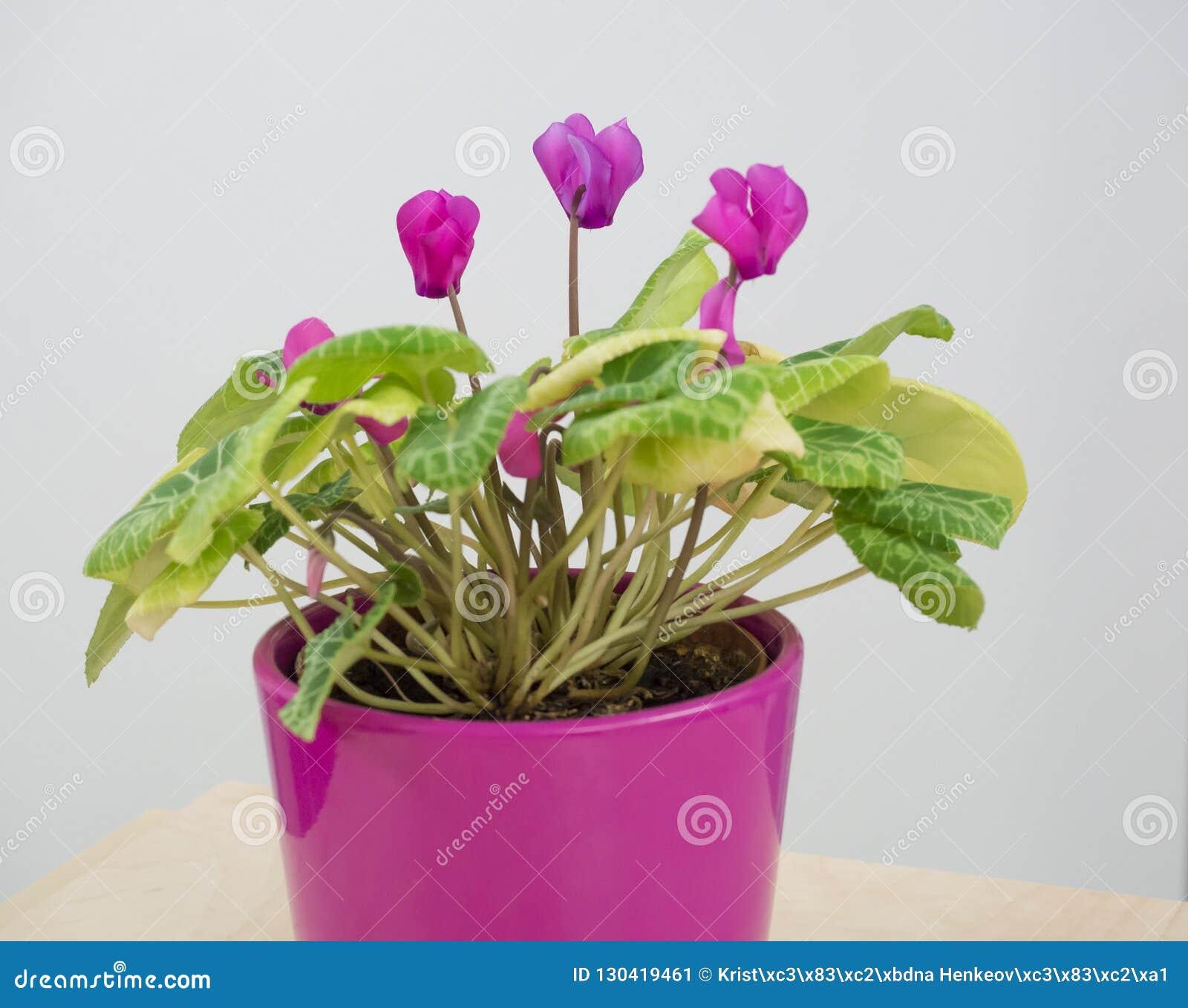 Pink blooming Lathyrus,peavines or vetchlings flowe in pink flowerpot on white background