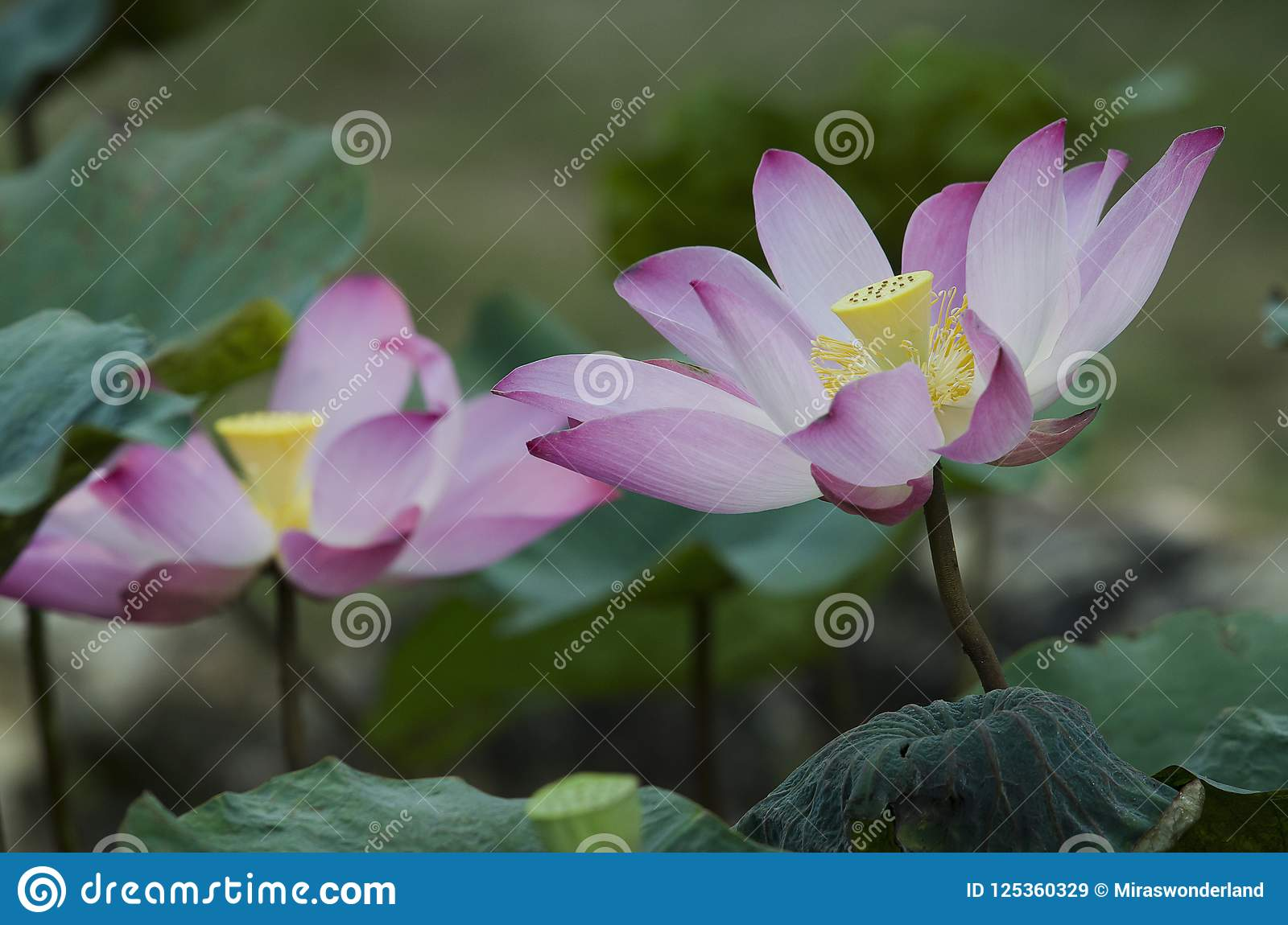 Pink blooming lotus flowers in a pond stock image image of download pink blooming lotus flowers in a pond stock image image of botanical pink izmirmasajfo